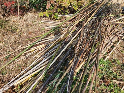 집을 지을 때 먼 곳에서 오죽 뿌리를 도끼로 캐와 심었다. 다 잘 자랐다. 세 군데 무성한 대나무밭을 이루었다. 농가에서 대나무는 자재로 귀하게 쓰인다. 용도가 무척 다양하고, 손쉽게 다룰 수 있기 때문이다. 마른 대나무나 비바람으로 굽어버린 대나무를 솎아내는 것만 해도 양이 상당하다. 이웃집에서도 자주 얻어간다. [신평 제공]