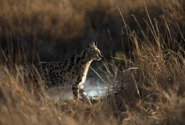 아프리카 사바나 초원에 사는 소형 고양잇과 동물 서벌. [GettyImage]
