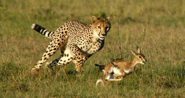 가젤을 쫓고 있는 치타. [KMAC]