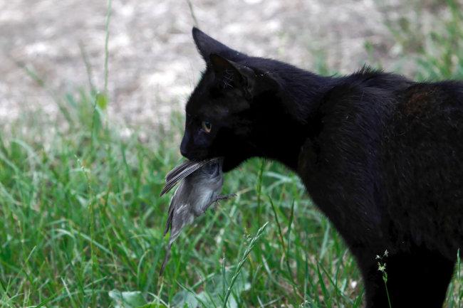 작은 새를 물고 있는 고양이. [GettyImage]