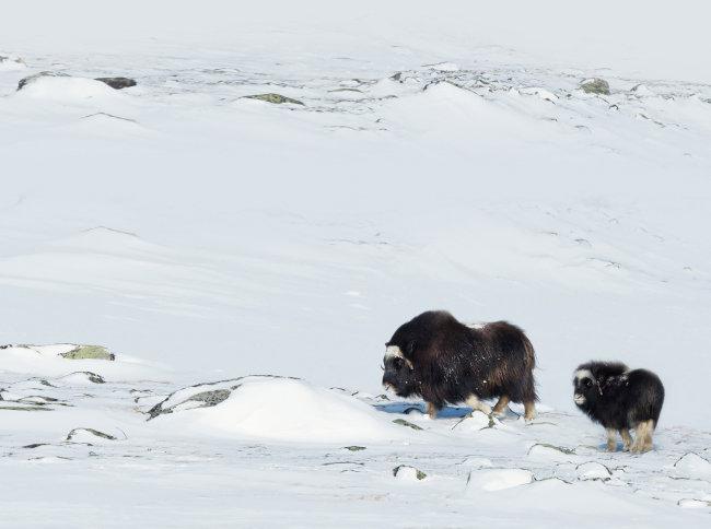 사향소는 북극권 근처 극지방에 주로 서식한다.  [GettyImage]
