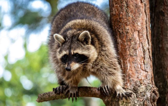 라쿤은 포식자의 위협을 받으면 나무 위로 대피한다. [GettyImage]