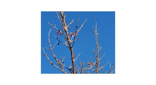 산수유 붉은 열매는 추위에 얼어붙었다. 하지만 꽃눈은 벌써 나왔다. 가장 먼저 봄소식을 전하기 위해서다. 나무들은 겨울을 그냥 나는 게 아니다. 혹독한 조건에서도 있는 힘을 다하여 봄의 꽃과 새싹을 틔울 눈을 만든다. 생명은 결코 쉬는 법이 없는가보다. [신평 제공]