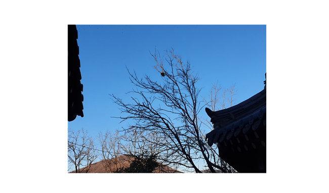 무엇이 그토록 아쉬운지 모과나무가 얼어붙은 모과 하나를 꽉 붙잡고 있다. 아직 봄이 오려면 멀었는데, 그때까지 모진 바람을 어떻게 견뎌낼지 걱정이다. 뒤에 보이는 산은 경주의 서악(西嶽) 선도(仙桃)산이다. [신평 제공]