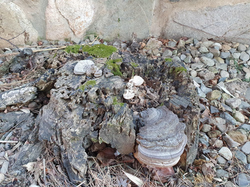 고목 그루터기에 둥지를 튼 상황버섯이 힘겨운 겨울날들을 난다. 몇 십 년 세월을 이렇게 견디며 보냈다. 그런 사이에 버섯은 썩은 나무둥치의 일부가 된다. 이끼는 여전히 푸르게 살아 있다. 누구나 최선을 다하며 살아간다. [신평 제공]