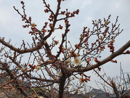 매화 꽃망울이 벌써 터졌다. 이미 풀린 흙에는 물기가 번졌다. 나무는 물을 빨아들이며 봄을 맞는다. 머지않아 산수유, 자두를 앞세우며 산야는 찬란한 꽃대궐로 바뀐다. 내 생애 한 번 더 맞는 봄이다. 그 봄을 고이고이 아끼고 싶다.