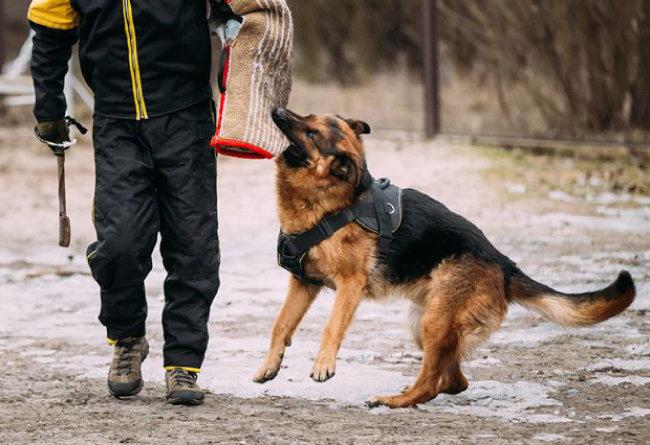 훈련받은 개는 사냥을 돕거나 인간을 지키는 역할을 한다. [GettyImage]