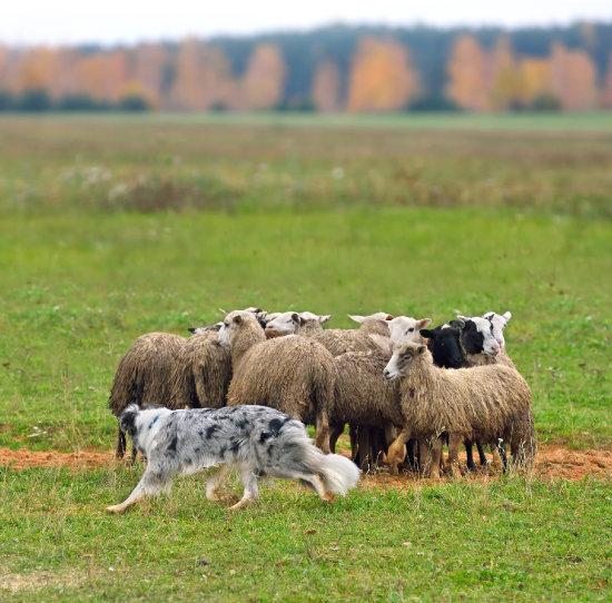 오스트레일리안 캐틀 도그(Australian Cattle Dog)는 목양에 특화된 품종이다. [GettyImage]