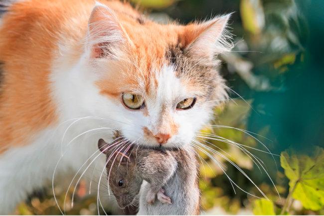 고양이는 전염병을 옮기는 쥐를 잡아 인류의 방역에도 힘썼다. [GettyImage]