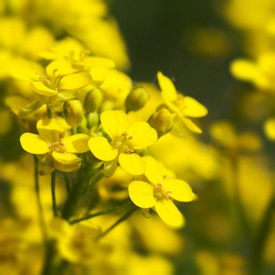 봄이 무르익는 시기, 전국 각지에서 만날 수 있는 노란 유채꽃. [GettyImage]