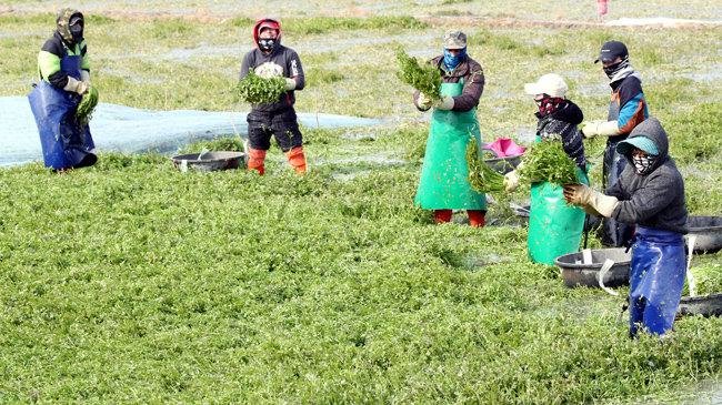 전남 나주 한 미나리 재배단지에서 농민들이 싱그러운 미나리를 수확하고 있다. [박영철 동아일보 기자]