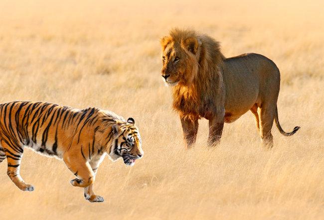 사자와 호랑이 중 어떤 동물이 더 강한 맹수인지 쉽게 판별할 수 없다.  [GettyImage]