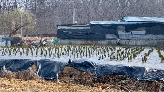3월 14일 경기 시흥시 과림동 667 일대에 향나무 묘목이 심어져 있다. 이곳은 LH 직원인 장모 씨가 소유한 곳이다. [문영훈 기자]