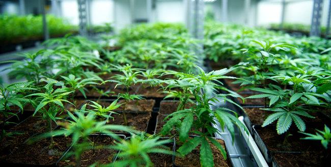 마리화나 제품을 생산하는 기업인 '틸레이'가 재배하는 마리화나.[틸레이 홈페이지 제공]