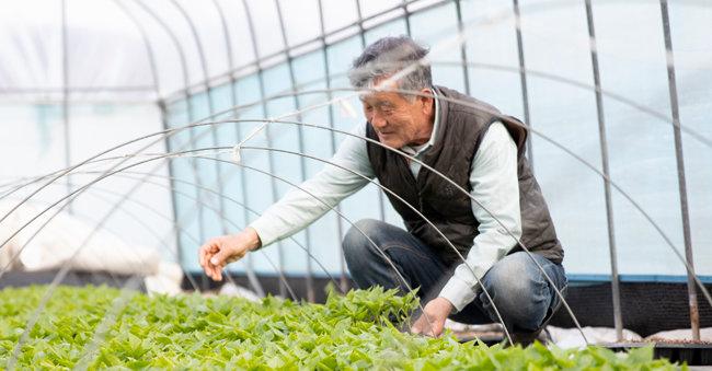 서울 강남에서 건축인테리어 사업을 하다 2010년 귀향한 김영일 씨는 이제 이웃들이 '농사 박사'라고 칭할 만큼 인정하는 자연농 전문가가 됐다. 그가 토종 고추 모종을 돌보고 있다. [지호영 기자]