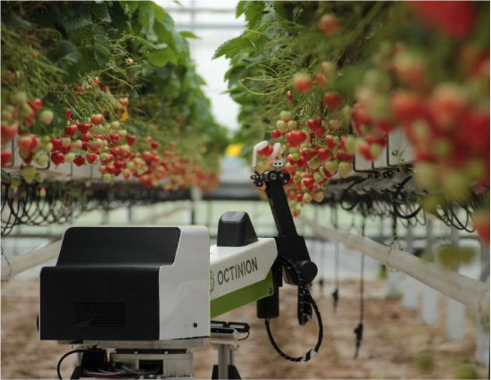 벨기에 기업 옥티니온이 만든 딸기 수확로봇 '루비온'이 농장에서 잘 익은 딸기를 골라 따고 있다. [옥티니온 제공]