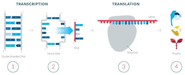 mRNA는 코로나바이러스의 유전정보를 이용해 체내에서 이와 유사한 단백질을 만든다. 가짜 바이러스에 대응하며 면역체계가 생긴다. [모더나 제공]