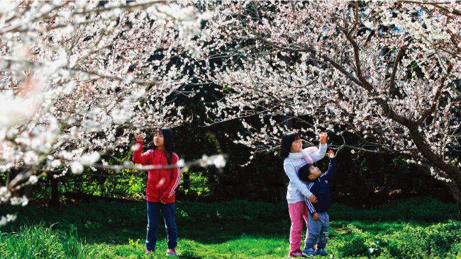 제주 서귀포시 휴애리자연생활공원에서 매화 사이에 파묻힌 아이들. [박해윤 기자]