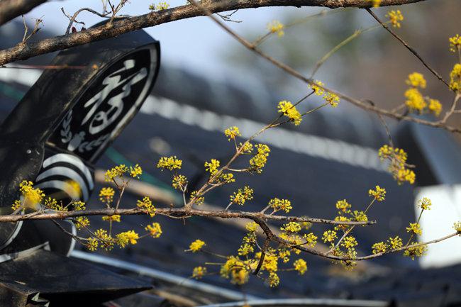 산수유 꽃의 샛노란 아우성
