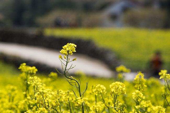4월이면 유채꽃이 섬 전체를 뒤덮는다.