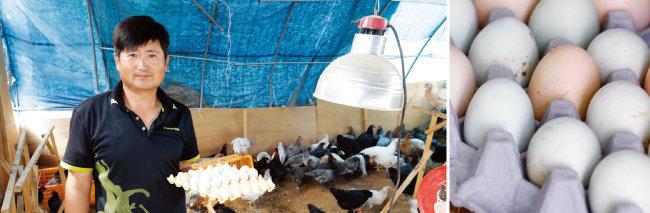 농장에서 푸른빛깔이 도는 달걀(오른쪽)을 낳는 청계를 키우는  김동진 박사. [박해윤 기자]
