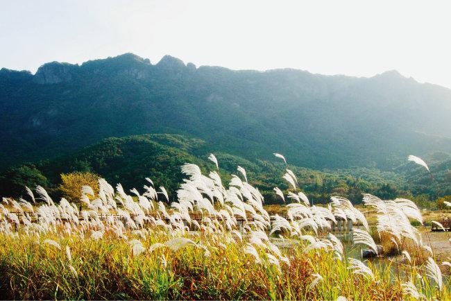 전북 정읍시 내장산국립공원의  갈대 풍경.