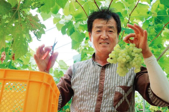 포도를 수확하는 김지원 대표. [사진 제공 · 그랑꼬또 와이너리]