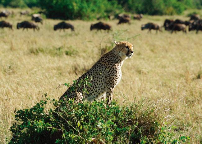 사냥감을 놓치고 망연자실한 표정의 치타.