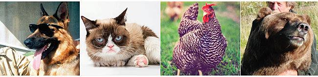 '백만장자 동물 클럽' 회원으로 인터넷상에  소개되는 동물들. 왼쪽부터 독일 셰퍼드 군터 4세,  '뚱한 고양이(grumpy cat)' 타르타 소스,  스카츠 덤피 종 암탉 기구, 곰 '바트 더 베어 2'.  이 중 군터 4세와 기구는 허구의 동물이다. [데일리메일]
