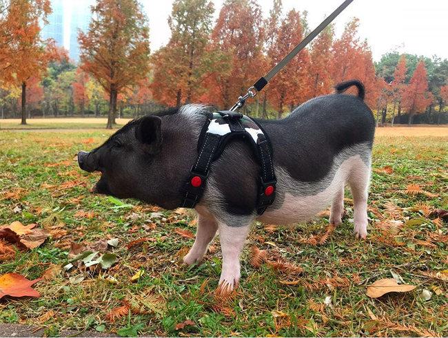 미니돼지 리버가 산책하고 있다[@river_choi_pig 인스타그램 캡처]