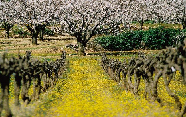 봄철 뤼베롱의 포도밭 풍경. [사진 제공 · 나라셀라]