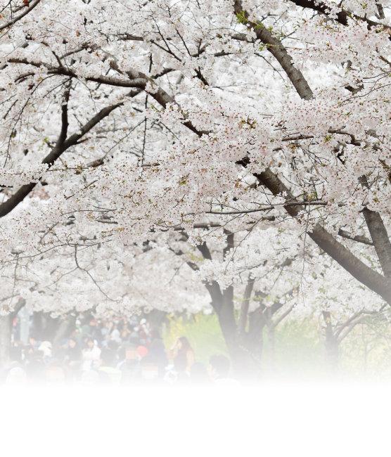 1886그루에 핀 벚꽃에 봄이 나투다