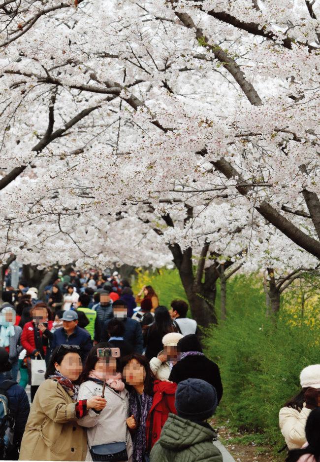 해마다 영등포 여의도봄꽃축제에는 수백만 인파가 몰려 인산인해를 이룬다. 사진은 지난해 축제장을 찾은 관람객들의 모습. [뉴시스]