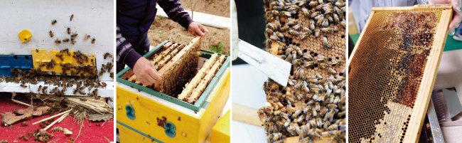 꿀벌이 모이는 벌통과 벌이 집을 짓고 꿀을 저장하는 소비(벌집). 소비에 붙은 벌은 살살 떼어내고, 소비 표면에 있는 밀랍은 살짝 벗겨내야 한다(왼쪽부터). [사진 제공·김민경]