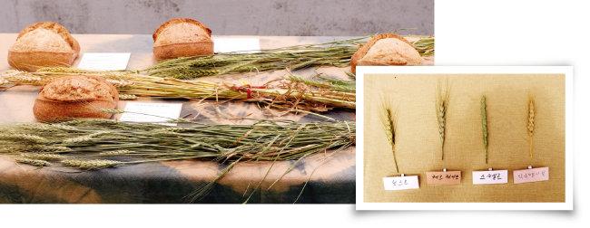 우리나라에서 키운 네 종류의 밀(아래)과 이것으로 만든 빵. [사진 제공·김민경]