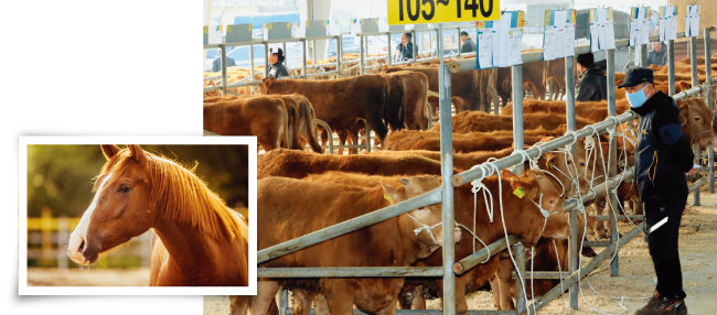 소, 돼지 등 식육용 가축은 비교적 엄격한 등록과 방역을 거친다(오른쪽). 식육용으로는 거의 사육되지 않지만, 가축 범주에 들어 있는 말은 진료비가 개나 고양이에 비해 훨씬 저렴하다. [shutterstock]