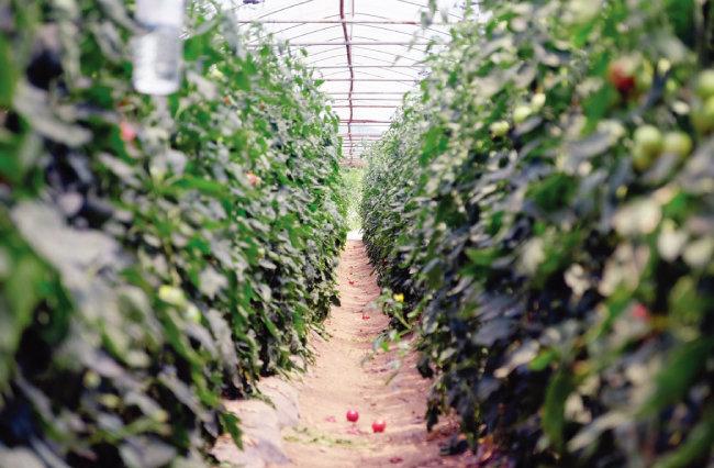 '토마토아뜰리에'의 토마토 농장. 농장에 들어서면 토마토 향이 가득하고, 대가 굵고 키가 큰 토마토 나무에 붉은 열매들이 주렁주렁 달려 있다. [사진 제공·김민경]