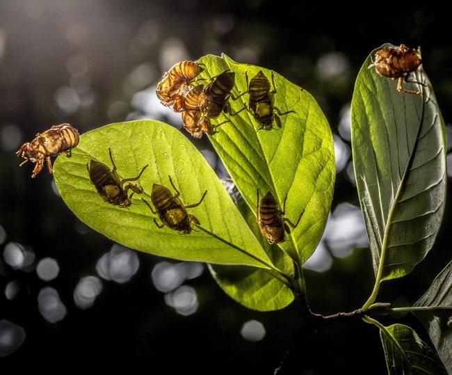 유충매미의 껍질