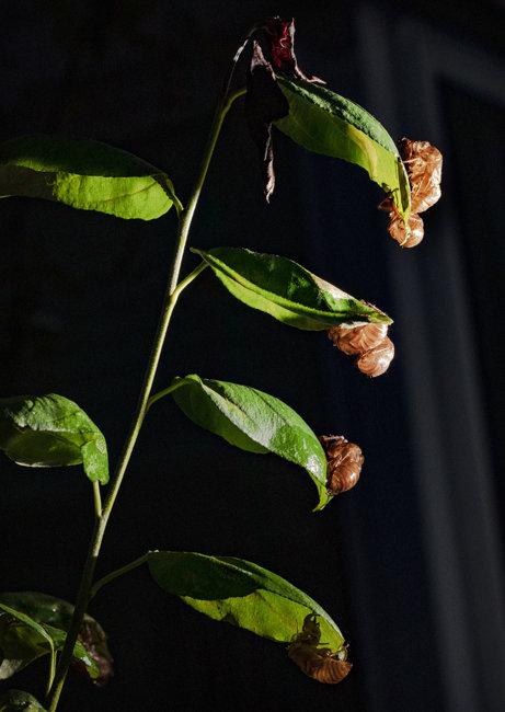 나뭇잎에 매달린 매미의 흔적