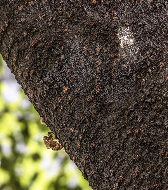 나무 보호색으로 위장한 매미