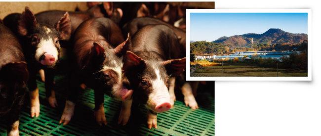 '다산육종'의 다산 버크셔(왼쪽)와 다산 버크셔가 자라는 전북 남원 사육장. [사진 제공·다산육종]