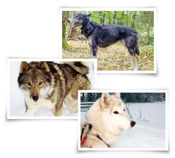 늑대를 닮은 개들. 알래스칸 허스키, 웨스트 시베리안 라이카, 저먼 셰퍼드와 알래스칸 맬러뮤트 교잡종(위부터). [늑대를 닮은 개들. 알래스칸 허스키, 웨스트 시베리안 라이카, 저먼 셰퍼드와 알래스칸 맬러뮤트 교잡종(위부터).]