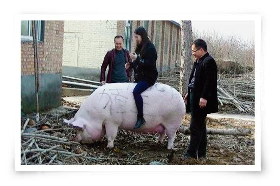 양돈 농가에서 키우는 슈퍼 돼지 등에 올라탄 중국인 여성. [VCG]