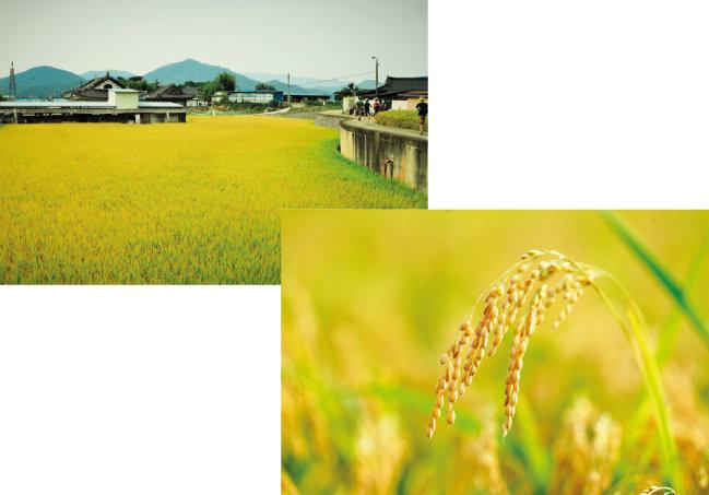 아름다운 황금 들판이 생산성 향상을 위한 획일화의 결과라는 것을 이제야 알았다. [사진 제공·김민경]