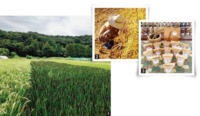 1 다양한 토종벼를 키우는 '우보농장'의 논은 생김, 높이, 색깔이 각기 다른 벼들로 가득하다. 2 '우보농장'의 벼 베기에는 도시민도 참여할 수 있다. 3 '우보농장'에서 생산한 다양한 쌀. [사진 제공 · 우보농장]