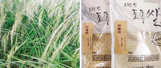 충남 공주의 황진웅 농부가 키우는 '버들벼'(왼쪽)와 쌀. [사진 제공 · 황진웅]