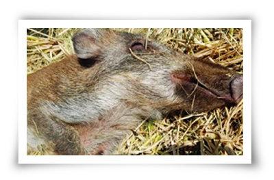 10월 23일 경기 파주 민간인출입통제선 안에서 발견된 아프리카돼지열병 감염 야생 멧돼지 사체. [뉴시스]