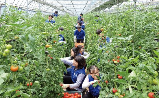 하나님의 교회 신자들이 원주 신림면 황둔리에 위치한 농가에서 토마토 수확을 돕고 있다. 이런 봉사활동은 청소년들이 가족, 이웃과 함께 봉사하며 바른 인성을 함양하는 기회가 된다. [사진 제공 · 하나님의 교회]