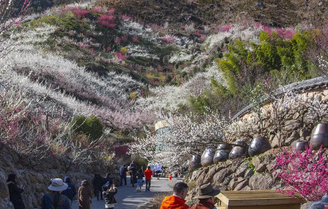 축제가 취소된 광양 매화마을의 풍경.