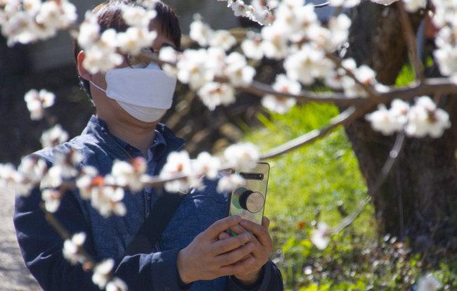 마스크를 착용하고 매화를 촬영하는 관람객.